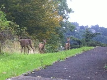 Deer and 2 fawns